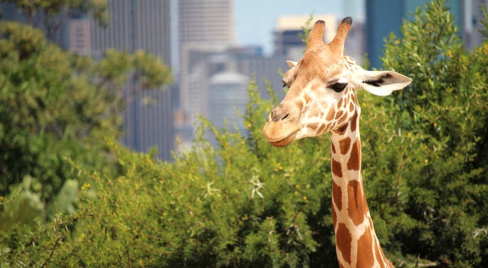 A giraffe's head is shown in front of trees and city buildings.