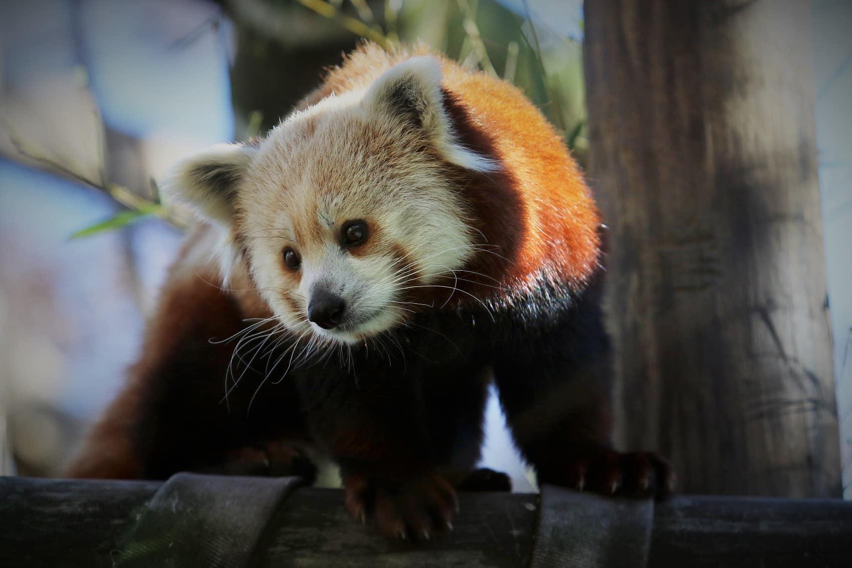 Toledo Zoo red panda exhibit